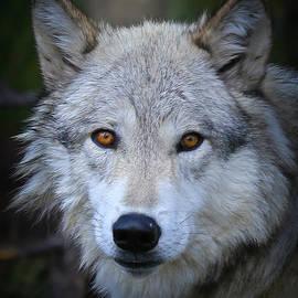 Athena Mckinzie - Glare Of A Wolf