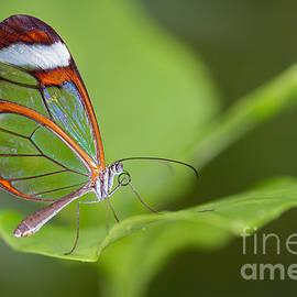 Bahadir Yeniceri - Glasswing Butterfly