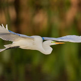 Andres Leon - Gliding Great Egret