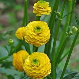 MTBobbins Photography - Globeflowers