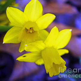 Luther   Fine Art - Glowing Daffodils
