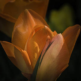 Julie Palencia - Glowing Orange Tulips