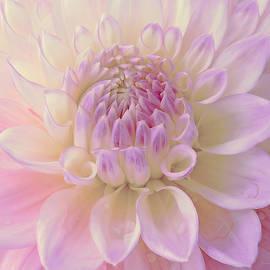 Jennie Marie Schell - Glowing Pink Ivory Dahlia Flower