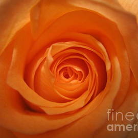 Tara  Shalton - Glowing Orange Rose