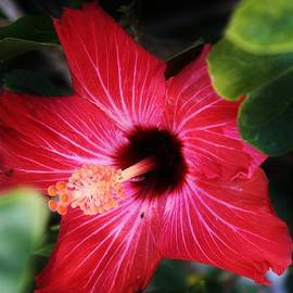Bruce Bley - Glowing Red Hibiscus
