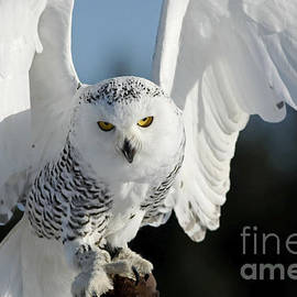 Inspired Nature Photography By Shelley Myke - Glowing Snowy Owl in Flight