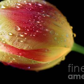 Tracy  Hall - Glowing Tulip