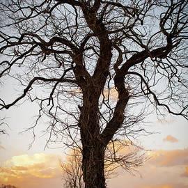 Wayne King - Gnarled Tree