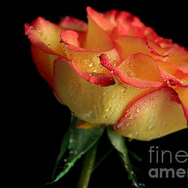 Tracy  Hall - Gold Red Rose