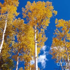 Alex Cassels - Golden Aspens in the San Juan Mountains