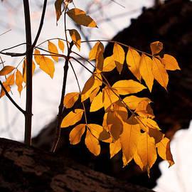 Rona Black - Golden Beech Leaves