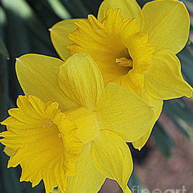 Photographic Art and Design by Dora Sofia Caputo - Golden Daffodils