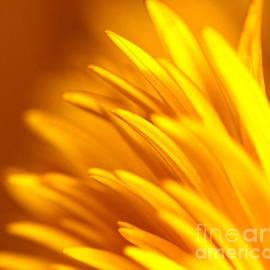 Michael Cinnamond - Golden Dahlia
