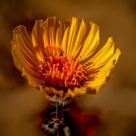 Robert Bales - Golden Dandelion