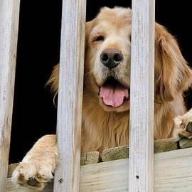 Maria Dryfhout - Golden Dog