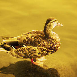 Nicola Nobile - Golden Duck