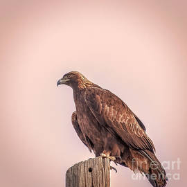 Janice Rae Pariza - Golden Eagle At Dusk