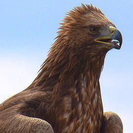 Dave Cawkwell - Golden Eagle Portrait