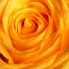 Jenny Rainbow - Golden Glowing. Floral Jewel. Yellow Rose