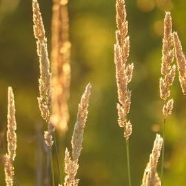Lori Frisch - Golden Grasses