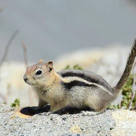 Debra Thompson - Golden-Mantled Ground Squirrel