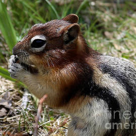 Marty Fancy - Golden-mantled Ground Squirrel