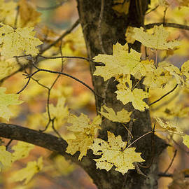 Saija  Lehtonen - Golden Maple Tree