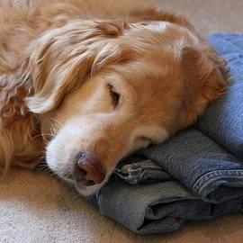Jennie Marie Schell - Golden Retriever Dog Forever on Blue Jeans