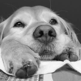 Jennie Marie Schell - Golden Retriever Dog I See You