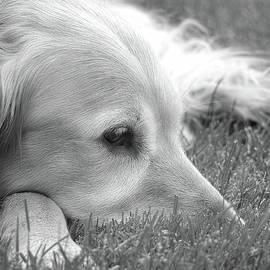 Jennie Marie Schell - Golden Retriever Dog in the Cool Grass Monochrome
