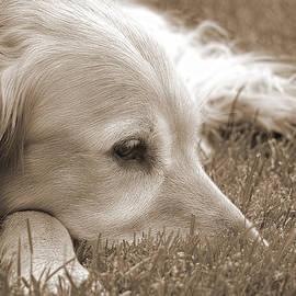 Jennie Marie Schell - Golden Retriever Dog in the Cool Grass Sepia