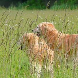 Jennie Marie Schell - Golden Retriever Dogs Field of Green Grasses