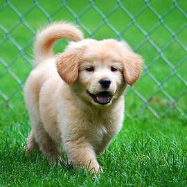 Christina Rollo - Golden Retriever Puppy