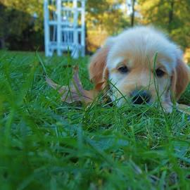 Dan Sproul - Golden Retriever Puppy