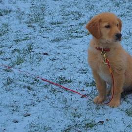Dan Sproul - Golden Retriever Puppy In The Snow