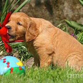 Dog Photos - Golden Retriever puppy nibbling on a flower