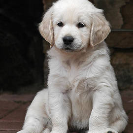 Dog Photos - Golden Retriever puppy sitting on cobbles
