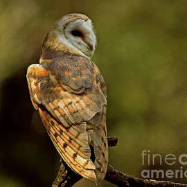 Inspired Nature Photography Fine Art Photography - Golden Spirit at the Forest Edge - Barn Owl