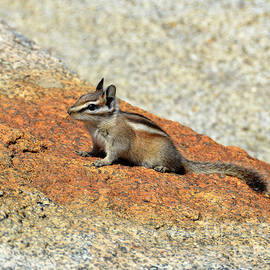 Debra Thompson - Golden Squirrel on Rock