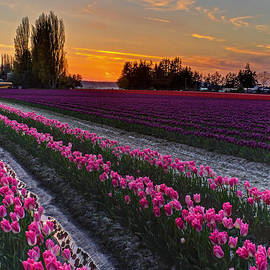 Mike Reid - Skagit Tulips Golden Sunset Layers