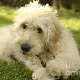 Anna Lisa Yoder - Goldendoodle Puppy and Stick