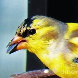 Judy Via-Wolff - Goldfinch and Sunflower Seed