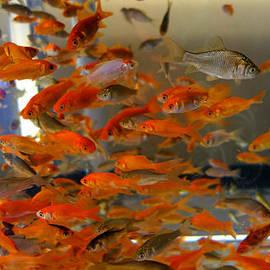 Diane Lent - Goldfish