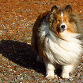 Lori Pessin Lafargue - Goldilocks the Sheltie