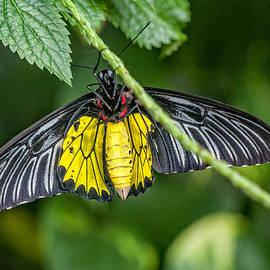 Gene Healy - Golden Birdwing