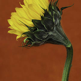 David Mullen  - Good Morning Sunflower