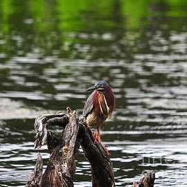 Al Powell Photography USA - Gorgeous Green Heron