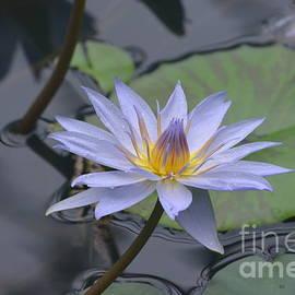 DejaVu Designs - Gorgeous Pale Lavender Water Lily