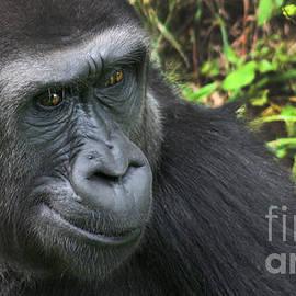 Gary Gingrich Galleries - Gorilla-9751