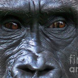 Gary Gingrich Galleries - Gorilla Eyes-9715